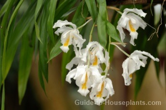 coelogyne cristata, coelogyne orchid, coelogyne alliance, ochid care tips