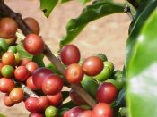 coffee plant, coffea arabica, coffee plants, growing coffee plants