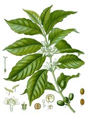 coffee plant, coffee plants, growing coffee plants