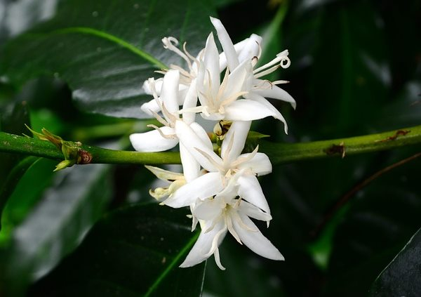 coffee plant,coffee plant flowers