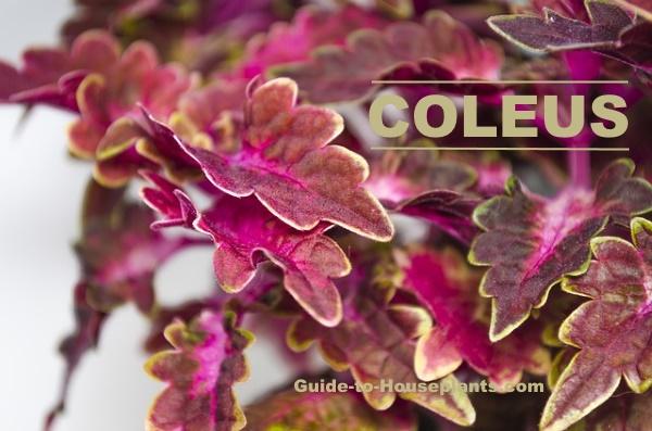 coleus plant, coleus blumei