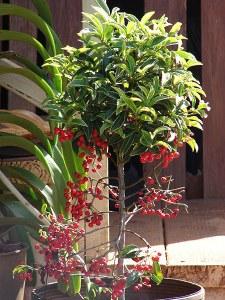 coral berry, ardisia crenata