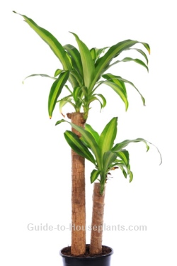Corn Plant Care Tips - Dracaena fragrans \'Massangeana\'