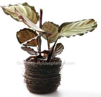 calathea roseopicta, prayer plant