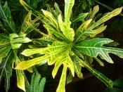 croton plant, arrowhead croton