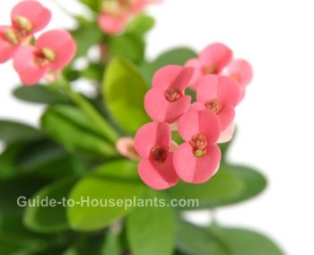 crown of thorns, crown of thorns plant, euphorbia milii