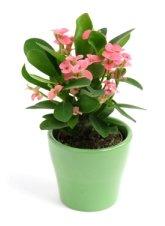 crown of thorns plant, euphorbia milii, poisonous house plants