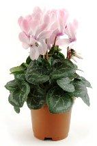 cyclamen plant, flowering houseplant, cyclamen care