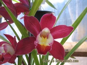 cymbidium orchid plants, cymbidium orchids, care of cymbidium orchids