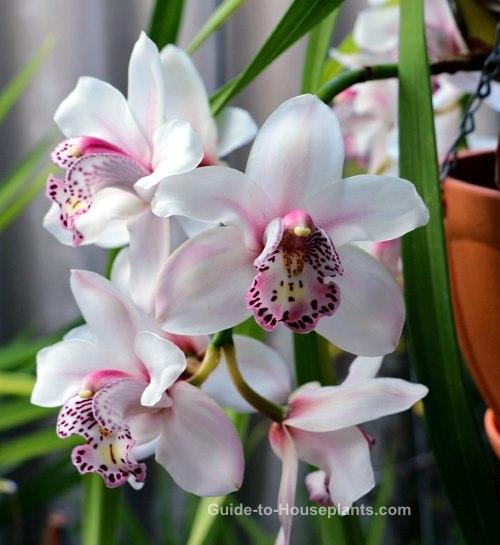 cymbidium, cymbidium orchid plants, growing orchids indoors, orchid houseplants
