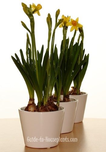 growing daffodils, forcing daffodils indoors, daffodil care