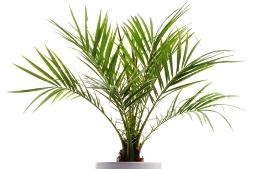 pygmy date palm, phoenix roebelinii, dwarf date palm