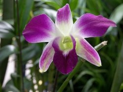 caring for orchids, orchid care instructions, dendrobium