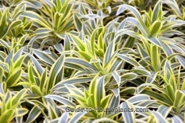 dracaena reflexa, dracaena care, pleomele, song of india