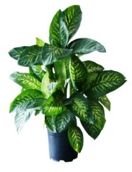 dumb cane, dieffenbachia, poisonous house plants, toxic house plants, common house plants, house plants toxic to cats
