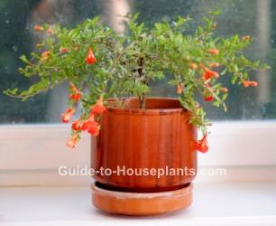 dwarf pomegranate, growing pomegranates, punica granatum nana, indoor fruit tree