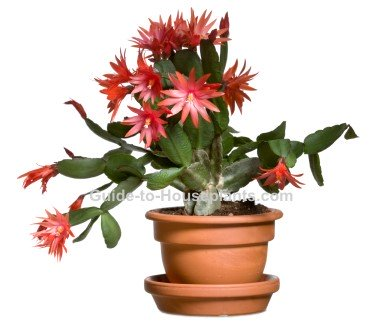 easter cactus, easter cactus plant