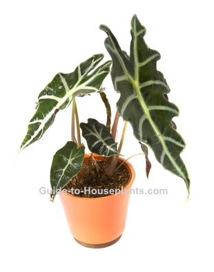 Elephant's Ear - Alocasia x amazonica Pictures, Care Tips on