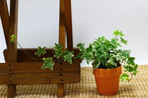 english ivy, houseplant