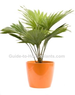 Indoor Palm Trees - Pictures of Palm House Plants on identify plants, identify leaves, identify nuts, identify wildflowers, identify people, identify berries, identify seedlings, identify flowers, identify insects, identify trees, identify mushrooms, identify cats, identify birds, identify thyme herb,