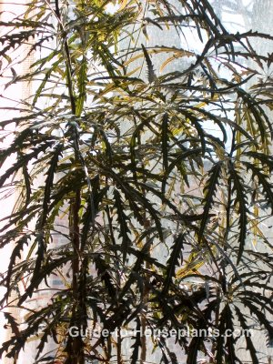 false aralia, dizygotheca elegantissima, large house plants