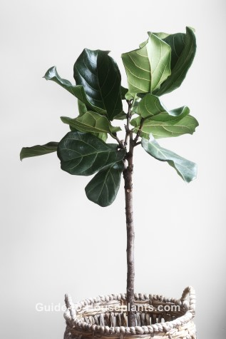 fiddle leaf fig, ficus lyrata, common house plant