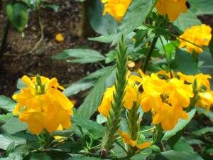 firecracker flower, yellow crossandra, crossandra infundibuliformis