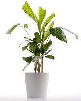 fishtail palm, palm house plants