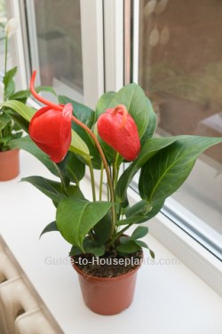 flamingo flower, anthurium care, tropical house plants