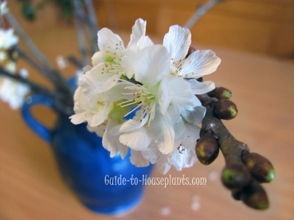 forcing branches indoors, forcing fruit tree branches