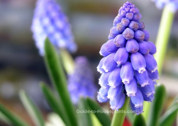 forcing bulbs indoors, forcing grape hyacinths, how to force grape hyacinth
