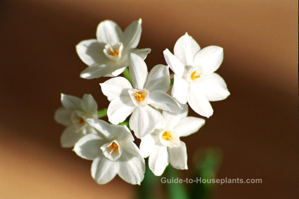 forcing bulbs indoors, forcing paperwhites, growing paperwhites