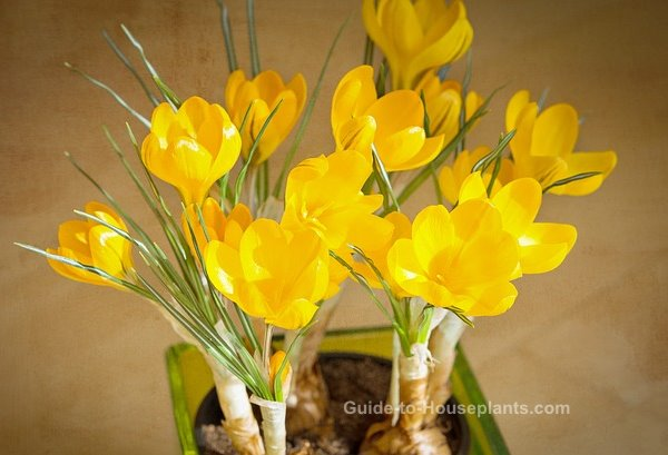 forcing bulbs indoors, forcing crocus, crocus flowers, how to grow force crocus