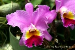 cattleya orchids, fragrant orchids