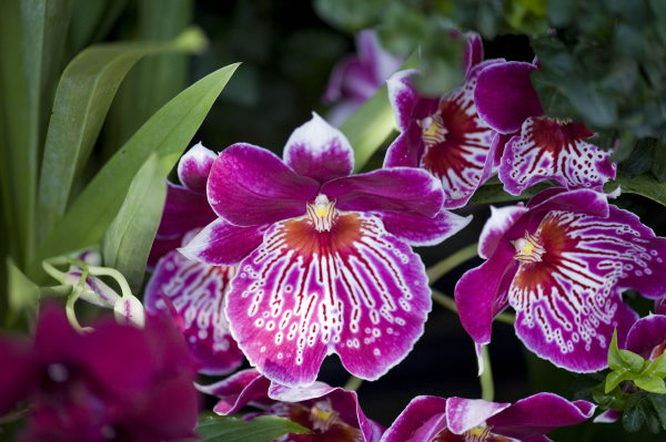 fragrant orchids, pansy orchid