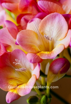 Growing freesia flower indoors planting freesia bulbs freesia flower growing freesia freesia plant care mightylinksfo