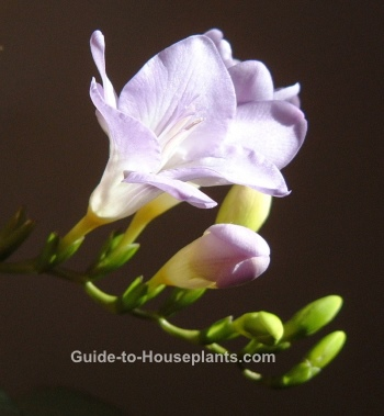 freesia flower, growing freesia, planting freesia