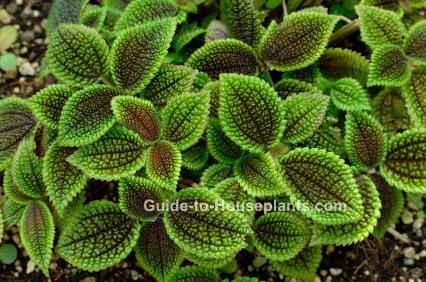 friendship plant, pilea involucrata, moon valley pilea