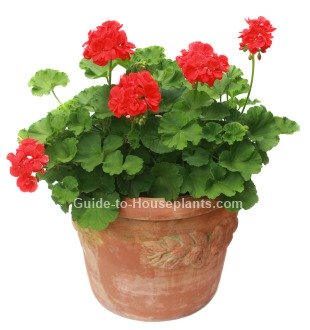 Geranium care tips growing zonal geraniums in containers - How to care for ivy geranium ...