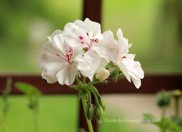 geranium, geranium care, growing geraniums, geranium houseplant