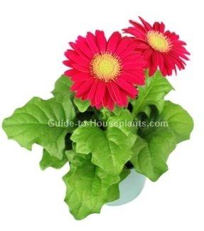 gerbera daisy care, gerbera jamesonii, gerbera flowers, gerber daisies