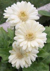 gerbera daisgerbera flowersy care, gerbera jamesonii,