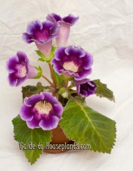 gloxinia, sinningia speciosa, flowering house plant