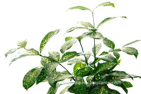 japanese laurel, aucuba japonica, spotted laurel, gold dust plant