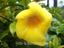 golden trumpet, allamanda cathartica, allamanda plant, golden trumpet vine
