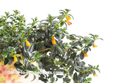 goldfish plant, columnea gloriosa