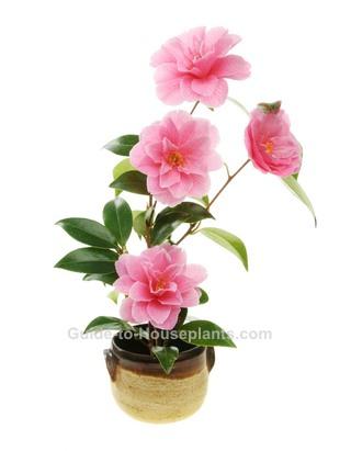 growing camellias, camellia japonica, camellia plant