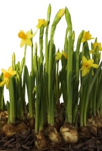 growing daffodils, forcing daffodils, daffodil care
