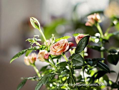 growing miniature roses, growing roses indoors, miniature rose care, caring for miniature roses