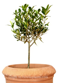 Growing Olive Trees Pruning Dwarf Tree Care